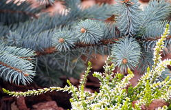 Beautiful heather in blossom with blue spruce in the background Stock Photo