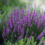 Beautiful heather in the forest close-up Royalty Free Stock Photos