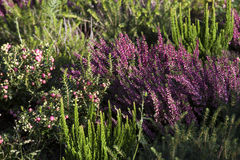 Beautiful heather in the forest close-up Royalty Free Stock Photo
