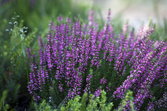 Beautiful heather in the forest close-up Stock Photo