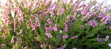 Beautiful heather at sunset Stock Photography