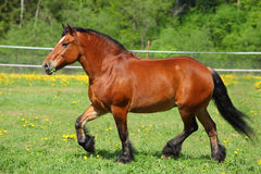 Beautiful heavy draft bay horse. Beautiful bay horse running on the field Stock Photos