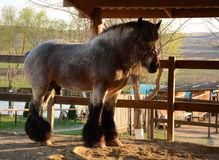 Beautiful heavy horse grazes on a farm on a sunny day Stock Image