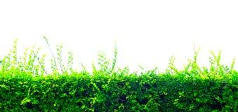 Beautiful hedge fence  on white background Stock Image