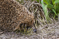 Beautiful hedgehog hiding in the grass Royalty Free Stock Images