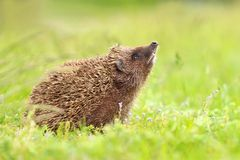 Beautiful hedgehog sniffing stock images