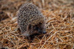 Beautiful hedgehog stock image
