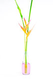Beautiful Heliconia flower blooming on isolate white background. Royalty Free Stock Photography