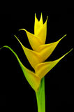 Beautiful Heliconia flower blooming in vivid color. S Stock Photo