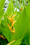 Beautiful Heliconia flower closeup Stock Photo