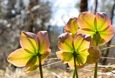 Beautiful hellebore in a sunny morning Stock Photography