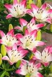Beautiful hemerocallis, pink flowers Royalty Free Stock Images