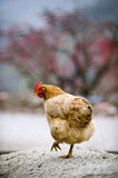 A beautiful hen Stock Images
