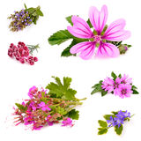 Beautiful herb Stock Image