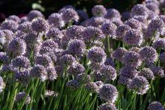 Beautiful herb flowers Stock Photos