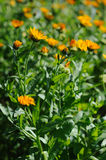 Beautiful herbal calendula field in spring time Stock Image