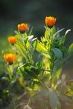 Beautiful herbal calendula with sun rays Stock Photos