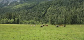 Beautiful herd of cows in the valleys of mountains Royalty Free Stock Photo