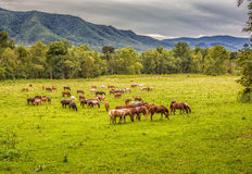 Beautiful herd of horses graze before smokey mountains in Tennessee Stock Image