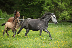 Beautiful herd of horses running together Royalty Free Stock Image