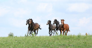 Beautiful herd of horses running together Stock Image