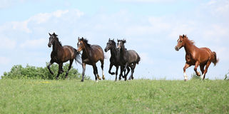 Beautiful herd of horses running together Royalty Free Stock Photo
