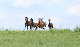 Beautiful herd of horses running together Stock Images