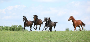 Beautiful herd of horses running together Stock Photography