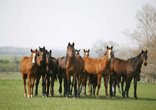 Beautiful herd of thoroughbred horses in pasture royalty free stock images