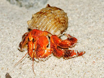 Beautiful hermit crab in his shell closeup. Isolated on sand background Royalty Free Stock Photo