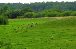 Heron bird and wild goose in field, Lithuania Royalty Free Stock Photography