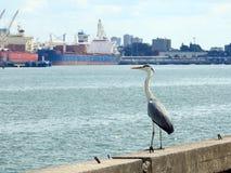 Beautiful heron bird in Klaipeda port, Lithuania Stock Images