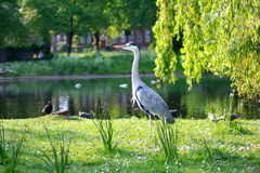 Beautiful Heron in London park. Close up Stock Photos