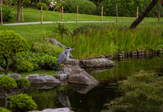 A beautiful heron standing near pond Royalty Free Stock Photo
