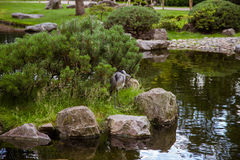 A beautiful heron standing near pond Royalty Free Stock Image