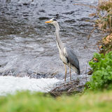 A beautiful heron standing near pond Royalty Free Stock Photography