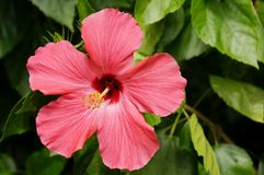 Beautiful Hibiscus Royalty Free Stock Photography