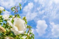 Beautiful Hibiscus Royalty Free Stock Photo