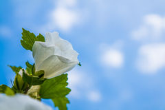 Beautiful Hibiscus. And blue sky Royalty Free Stock Image