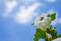 Beautiful Hibiscus Royalty Free Stock Photos