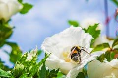 Beautiful Hibiscus Stock Photos
