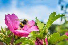 Beautiful Hibiscus Stock Image