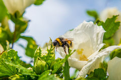 Beautiful Hibiscus. And bumble bee Royalty Free Stock Photos