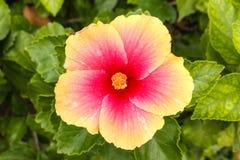 Beautiful Hibiscus or China rose. Royalty Free Stock Photo