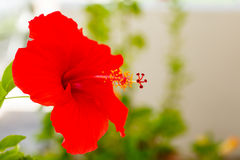 Beautiful hibiscus Royalty Free Stock Images