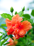 Beautiful hibiscus flower Royalty Free Stock Images