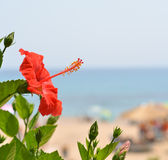 Beautiful Hibiscus flower against sea side Stock Photo