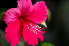Beautiful hibiscus flower on nature dark background. Selective focus. Stock Photography