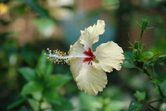 Beautiful hibiscus flower. White with red the nitty gritty Royalty Free Stock Photography