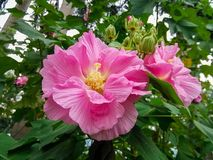 Beautiful hibiscus flowers on the farm. This kind of flower is planted next door to hou hou, can pick to cook to eat。The flowers in the picture are red royalty free stock photo